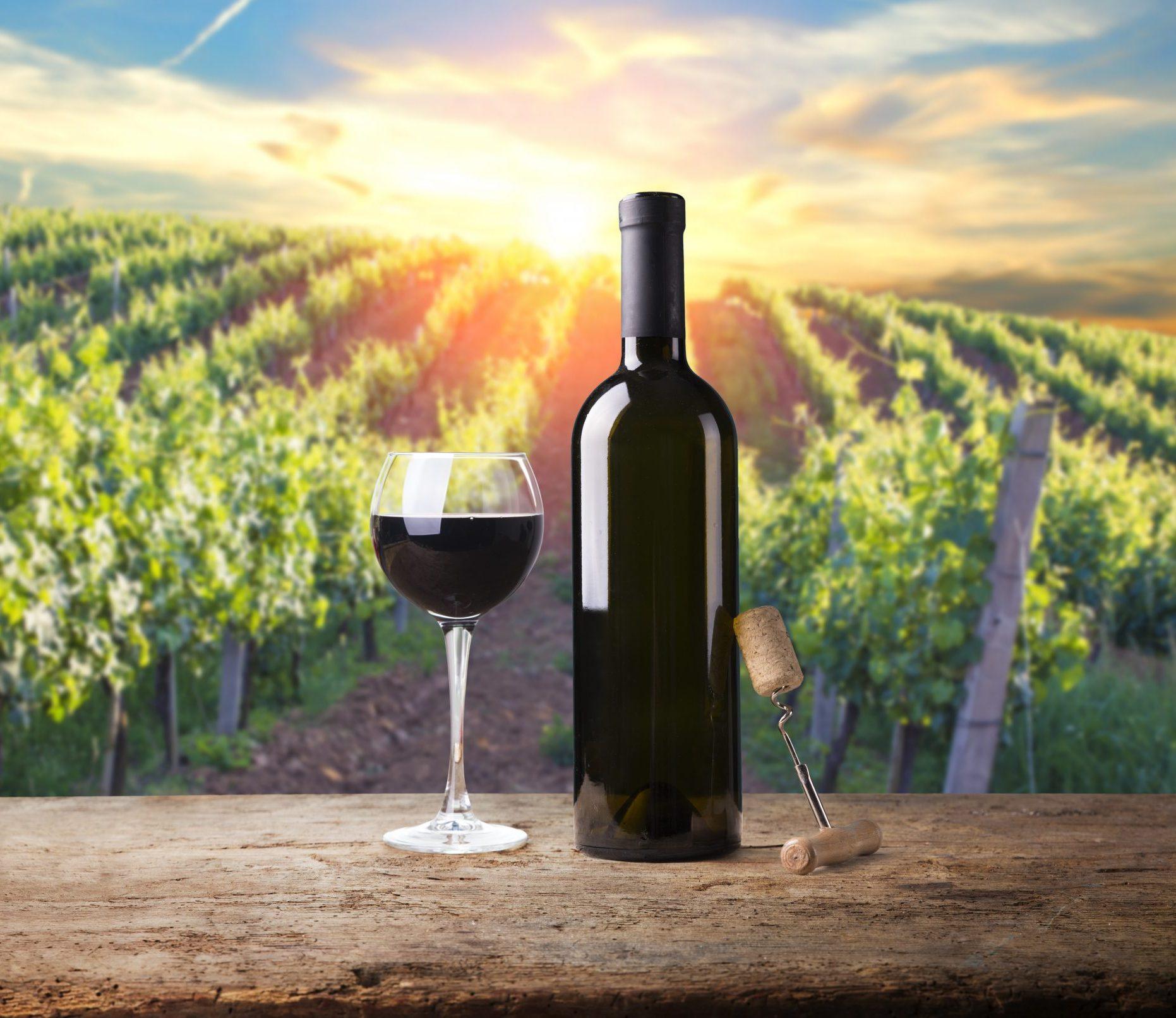Extra wide panoramic shot of a summer vineyard shot at sunset